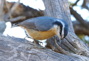 Nuthatch email